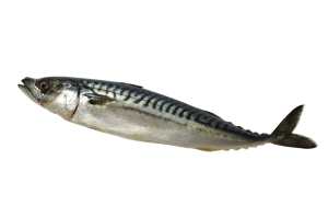 mackerel fish on a white background